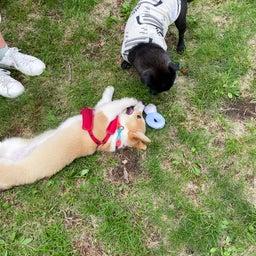 画像 マウントジーンズ那須での飛行犬撮影会で看板犬 の記事より 2つ目