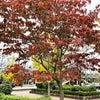 ハナミズキの紅葉/阿見町役場の秋色の画像