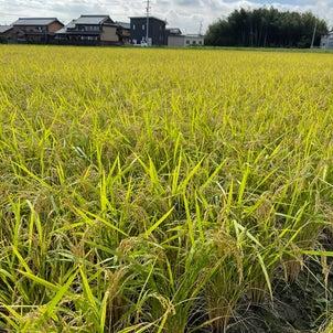 秋の実り稲刈り に 汗流してます!赤とんぼが稲の間をとんでいました。三重県菰野...の画像