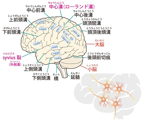 大脳・神経細胞