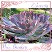 多肉の寄せ植え★バラの花みたいなエケベリア!ネオンブレーカーズ