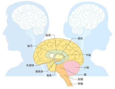 男女の脳の違い・脳梁