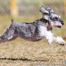画像 2021/10/2 磐梯スノーDogs 飛行犬撮影会に来てくれたわんこ達 その2 の記事より 6つ目