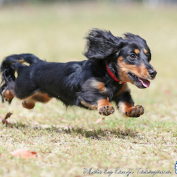 画像 2021/10/2 磐梯スノーDogs 飛行犬撮影会に来てくれたわんこ達 その1 の記事より 10つ目