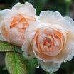 ホソオビに食べられたエブリン&雨の日も美しいバラ(#^.^#)