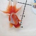 なおちん金魚