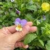 豪雨でやられた苗たちとリボベジ達