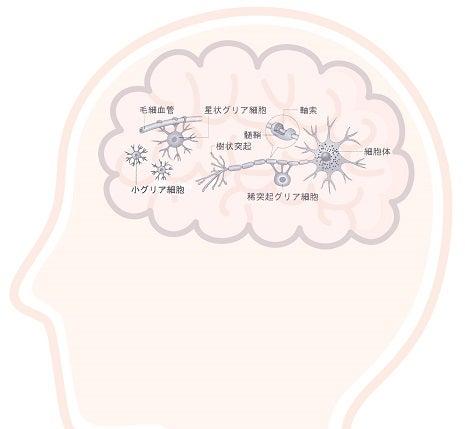 神経細胞・グリア