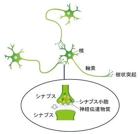 樹状突起・シナプス・神経伝達物質