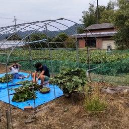 画像 丹波で黒豆の収穫祭! の記事より 1つ目