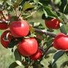 年寄りは小さいりんごと大きいりんごとどちらを選ぶか?の画像