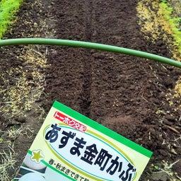 画像 大根の発芽!カブの種まき〜発芽! の記事より 2つ目
