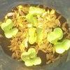 大根の発芽!カブの種まき〜発芽!の画像