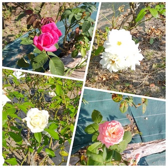 焼き芋&綺麗な秋薔薇