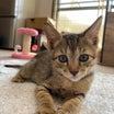 もうすぐ1キロ✨子猫ワカメ