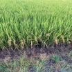 稲刈のかおり(豊作)