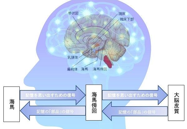 記憶・大脳辺縁系・海馬