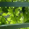 緑のカーテンもソロソロ。。の画像