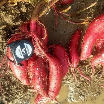 紅はるか収穫、キャベツ追加植え