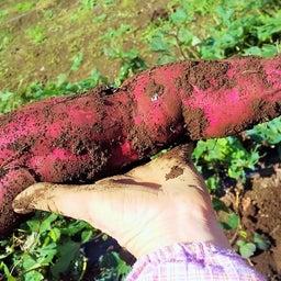 画像 さつま芋の収穫!ニンジンの間引き! の記事より 1つ目