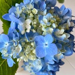 画像 紫陽花の花1本で部屋のエネルギーが変わる の記事より 2つ目