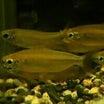 淡水魚 スーパーレッドフェニックスアップ済み!他激安生体もございます。