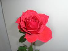 ときちゃんから頂いた薔薇