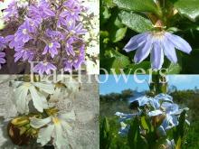 Fanflowers