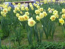 八重咲き水仙