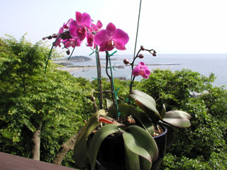 2008 胡蝶蘭