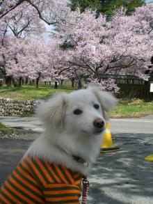 リリー『桜』よりも人がいっぱいが気になるの