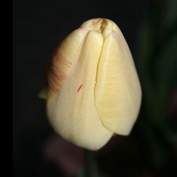 黄チューリップ