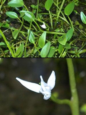 アメリカコナギ(白花)