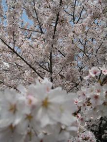 つくばの桜1