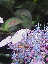 ハチがとぶ