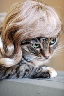ネコにカツラ