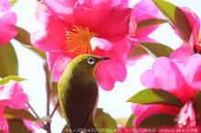 今日の小鳥 あめば日記