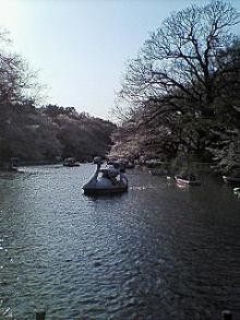 今日の桜は井の頭公園の