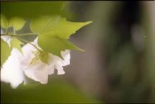 みかん農園で咲く「酔芙蓉」