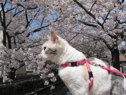 桜とモカタン1