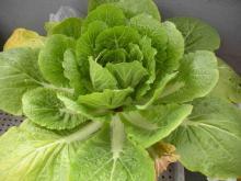 ベランダで作ろう!おいしい野菜-214白菜