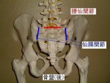 骨盤(後面)
