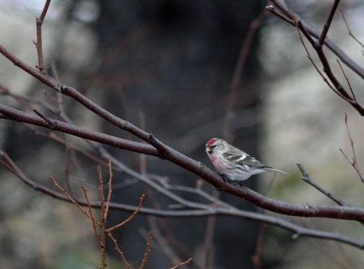 北海道の野生動植物写真-ベニヒワ