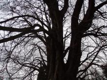 リュクサンブール公園の大きな木