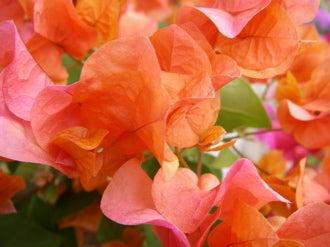 kume_flower