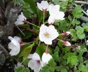 頭上ばかりじゃなく足元にも桜。