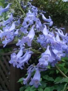 ジャカ 花の拡大