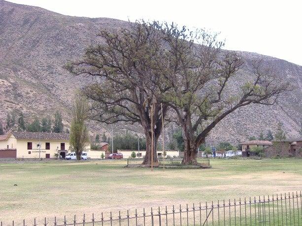 聖なる谷のアメリカデイゴ
