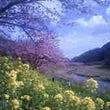 みなみの桜と菜の花ま…