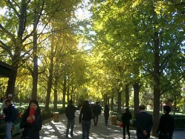 雍和宮のいちょう並木